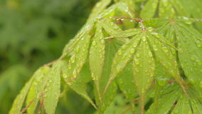 Green Japanese maple leaves natural background stock video footage
