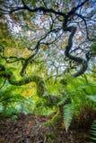 Green japanese maple tree. Amazing Green Japanese Maple Tree in autumn, Seatle Royalty Free Stock Image