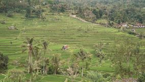 Green Jatiluwih rice fields terraces with houses and palm trees stock video footage