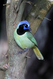 Green Jay Royalty Free Stock Photography