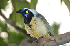 Green Jay Royalty Free Stock Images