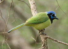 Green Jay Stock Photography