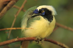 Green jay Stock Images