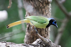 Green Jay at Bentsen in Texas Stock Image