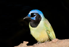 Green Jay Royalty Free Stock Photos