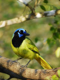Green Jay (Cyanocorax yncas). Green Jay perching in the forest with dappled sunlight shining Royalty Free Stock Images