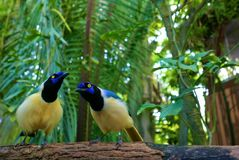 Green jay Royalty Free Stock Photo