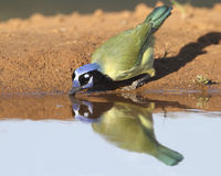 Green Jay (Cyanocorax yncas) Drinking at a Pond - Texas. Green Jay (Cyanocorax yncas) drinking at a pond with its reflection on the surface - Texas Stock Image