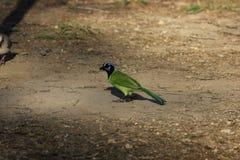 Green Jay (Cyanocorax yncas) Royalty Free Stock Image