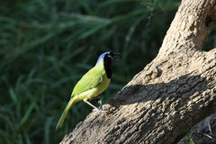 Green Jay (Cyanocorax yncas) Royalty Free Stock Photos