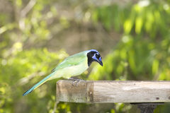 Green Jay at the feeder. A Green Jay eating at the platform feeder Stock Images