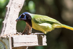 Green jay at a feeder Stock Image