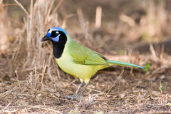 Green jay feeding on the ground Royalty Free Stock Photography
