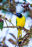 Green Jay. Front View Of Green Jay Showing Yellow Front, Perched On Tree Branch, Cabañas San Isidro Lodge, Ecuador Royalty Free Stock Photos