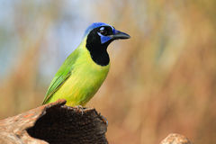 Green jay in horizontal photo Stock Images