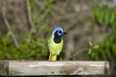 A Green Jay perched on a feeder. A Green Jay perched on the rim of a platform feeder Royalty Free Stock Photos