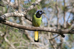 Green jay perched in a mesquite Royalty Free Stock Photography