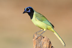 Green Jay Perched on a Stump - Texas Stock Photo