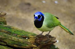 Green Jay perching on a log royalty free stock photo