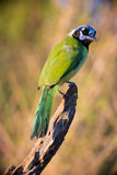 Green jay in vertical photograph Stock Photography