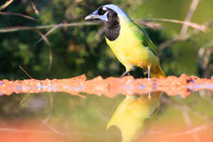 Green jay at water hole. With reflection Royalty Free Stock Photos