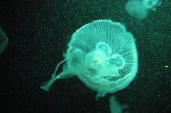 Green jellyfish. In dark background Stock Photo
