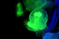 Green jellyfish Royalty Free Stock Photos