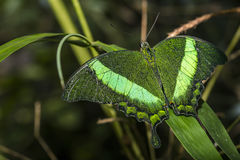 Green Jewels. Close up of the Emerald Swallowtail Butterfly, illuminated by flash Royalty Free Stock Photos