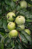 Green juicy apples after the rain hang on the wet tree branch. Royalty Free Stock Photos