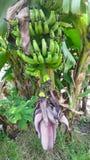 The Bananna tree with banana fruit royalty free stock image
