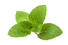 Green juicy elastic mint leaves isolated on white Royalty Free Stock Images