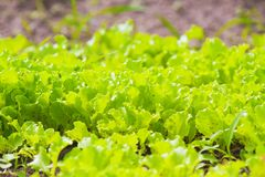 Green juicy fresh lettuce growing on garden beds Stock Photos