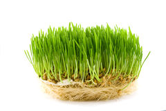 Green juicy grass Stock Photography
