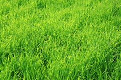 Green juicy grass as background Royalty Free Stock Photography