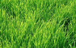 Green juicy grass as background Stock Photos