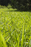 Green juicy grass Royalty Free Stock Images