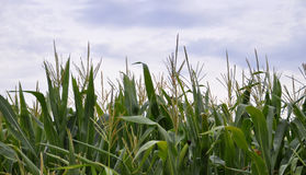 Green juicy leaves of young corn in the field closeup. Agricultural background Royalty Free Stock Photos
