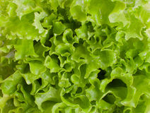 Green juicy lettuce. Premium closeup royalty free stock photos