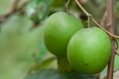 Green jujube. Jumbo green jujube fruit is delicious Stock Image