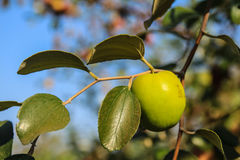 A green jujube Stock Images