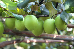 Green jujube fruit Royalty Free Stock Photos
