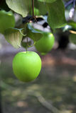 Green jujube fruit Royalty Free Stock Images