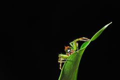 Green jumping spider. On a leaf with black background Stock Images
