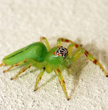 Green jumping spider Royalty Free Stock Images