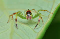 Green jumping spider Royalty Free Stock Photo
