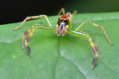 Green jumping spider Stock Photo
