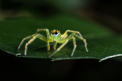 Green Jumping Spider on green leaf extreme close up  Macro phot Royalty Free Stock Images