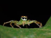 Green jumping spider on green leaf Royalty Free Stock Photo