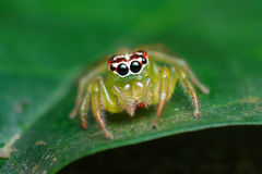 Green jumping spider on green leaf Stock Image