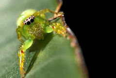 Green Jumping Spider Royalty Free Stock Photos